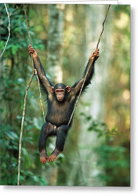 Great Ape Greeting Cards - Chimpanzee Pan Troglodytes Juvenile Greeting Card by Cyril Ruoso
