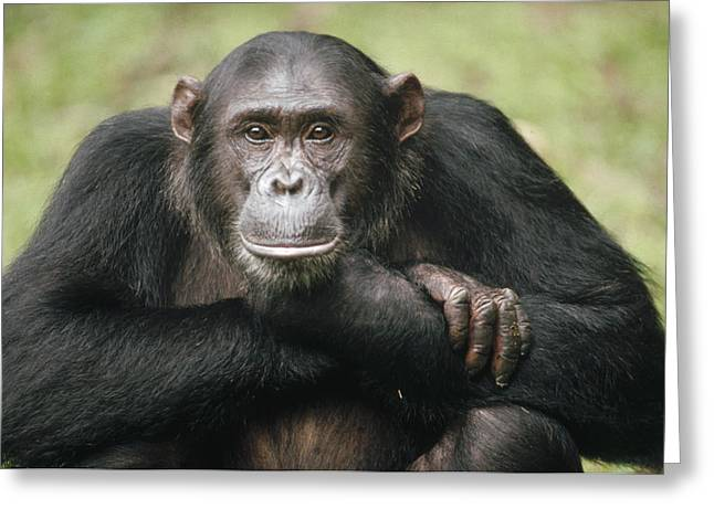 Great Ape Greeting Cards - Chimpanzee Pan Troglodytes Portrait Greeting Card by Gerry Ellis