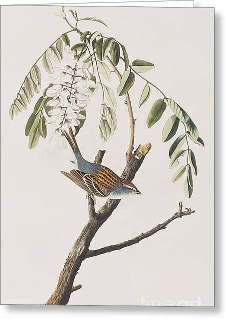 Sparrow Greeting Cards - Chipping Sparrow Greeting Card by John James Audubon