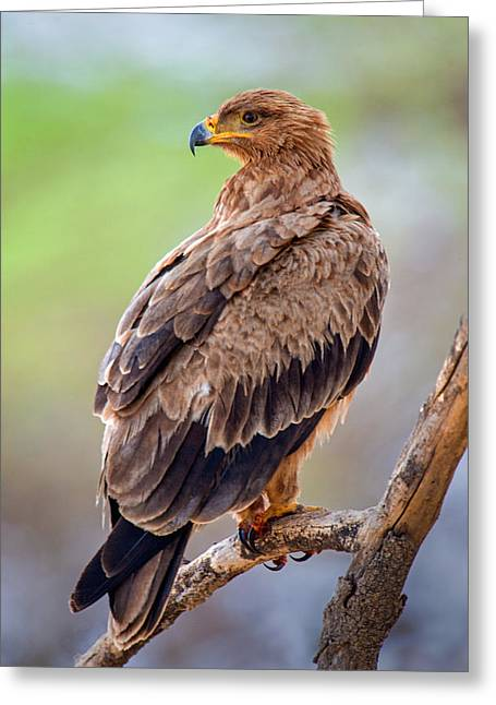 Bird On Tree Greeting Cards - Close-up Of Tawny Eagle Aquila Rapax Greeting Card by Panoramic Images
