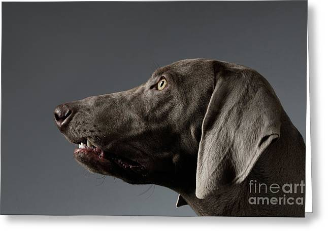 Close-up Portrait Weimaraner Dog In Profile View On White Gradient Greeting Card by Sergey Taran