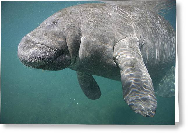 Reflections In River Greeting Cards - Close View Of A Manatee Greeting Card by Nick Norman
