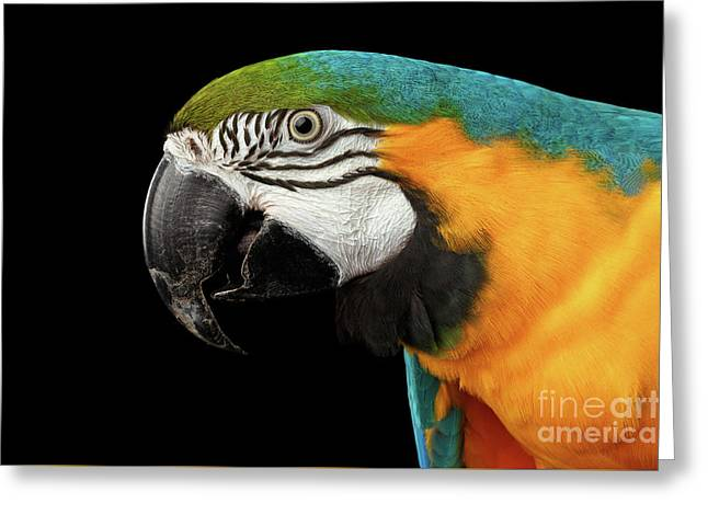 Closeup Portrait Of A Blue And Yellow Macaw Parrot Face Isolated On Black Background Greeting Card by Sergey Taran
