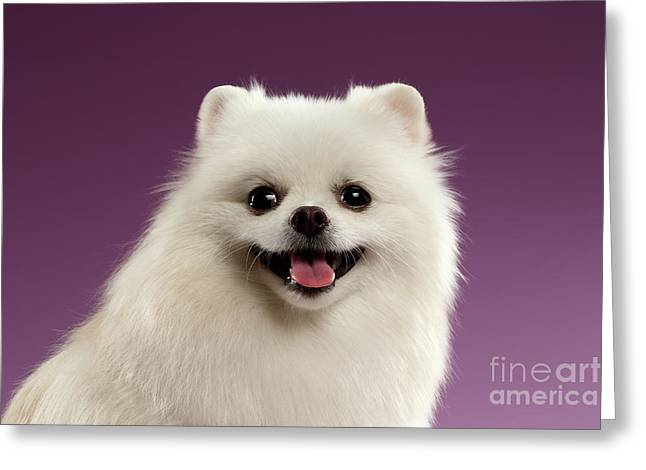 Closeup Portrait Of White Spitz Dog On Colored Background Greeting Card by Sergey Taran