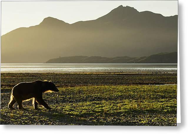Seren Greeting Cards - Coastal Brown Bear  Ursus Arctos Greeting Card by Paul Souders