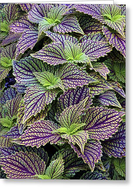 Coleus Greeting Card by Jessica Jenney
