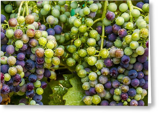 Mountain Valley Greeting Cards - Colorful Wine Grapes on Grapevine Greeting Card by Teri Virbickis