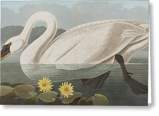 Birds Drawings Greeting Cards - Common American Swan Greeting Card by John James Audubon