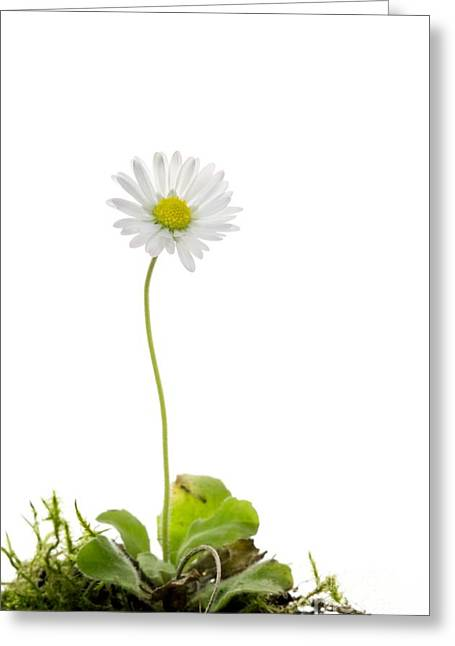 Uproot Greeting Cards - Common Daisy Flower Greeting Card by Duncan Shaw