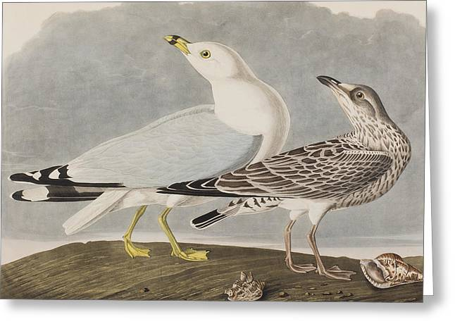 Gulls Greeting Cards - Common Gull Greeting Card by John James Audubon