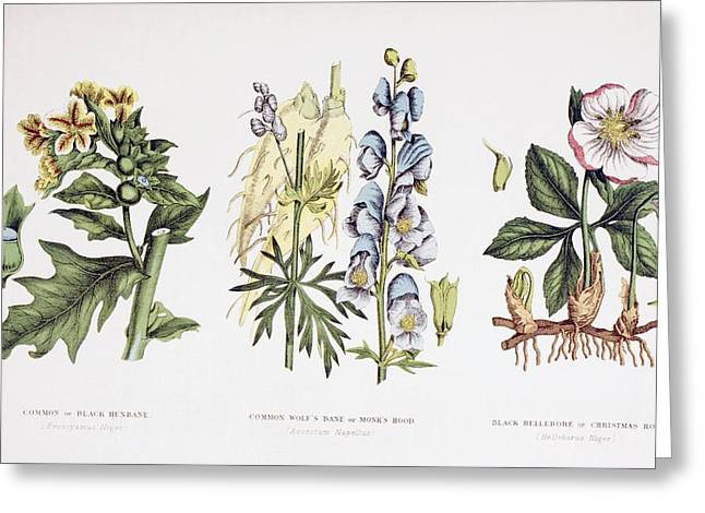 Helleborus Niger Greeting Cards - Common Poisonous Plants. Left To Right Greeting Card by Ken Welsh