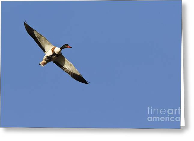 Cut-outs Greeting Cards - Common Shelduck In Flight Greeting Card by Duncan Shaw