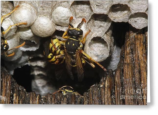 Common Wasp Vespula Vulgaris Greeting Card by Gerard Lacz