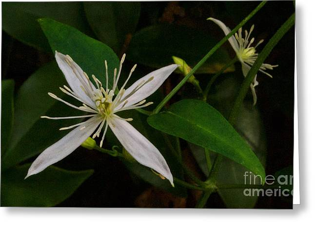 Confederate Jasmine Greeting Card by Skip Willits