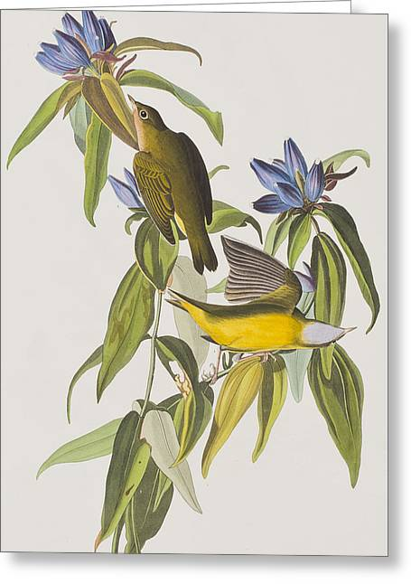 Warblers Greeting Cards - Connecticut Warbler Greeting Card by John James Audubon
