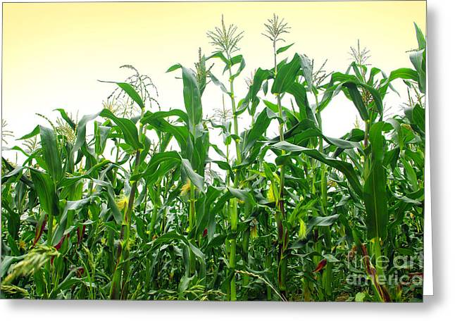 Grasslands Greeting Cards - Corn Field Greeting Card by Carlos Caetano