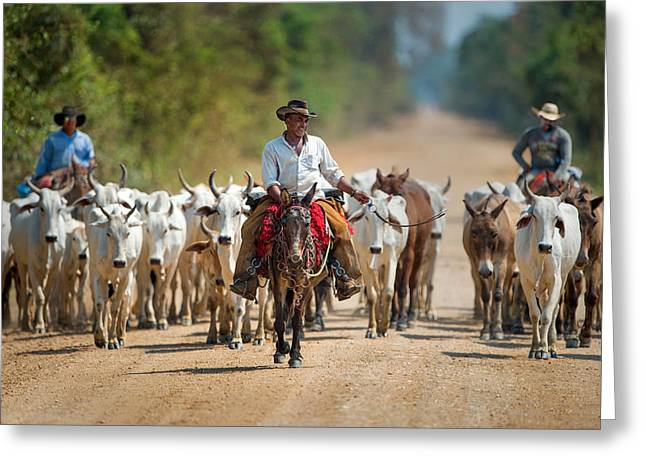 Three Cows Greeting Cards - Cowboy Herding Cattle, Pantanal Greeting Card by Panoramic Images