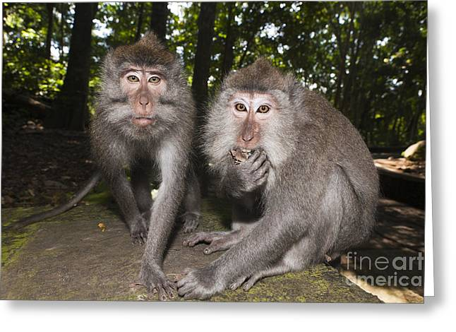 Crab-eating Macaques Greeting Card by Reinhard Dirscherl