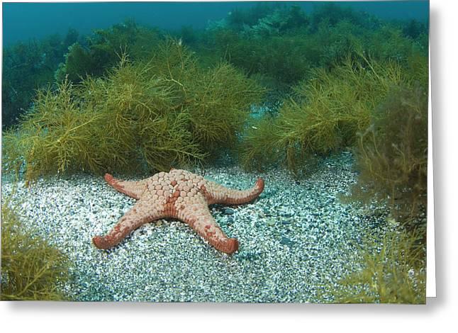 Seastar Photographs Greeting Cards - Cushion Starfish Greeting Card by Matthew Oldfield