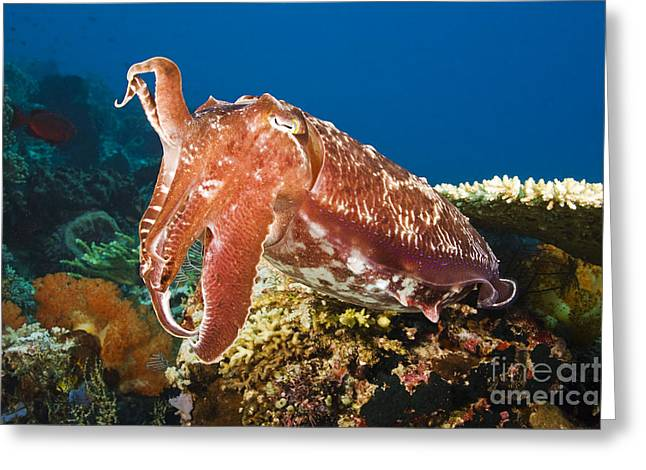 Jet-propelled Greeting Cards - Cuttlefish Greeting Card by Dave Fleetham - Printscapes