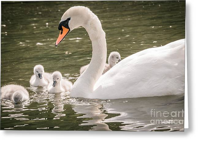 White Photographs Greeting Cards - Cygnets And Mother Greeting Card by F Helm