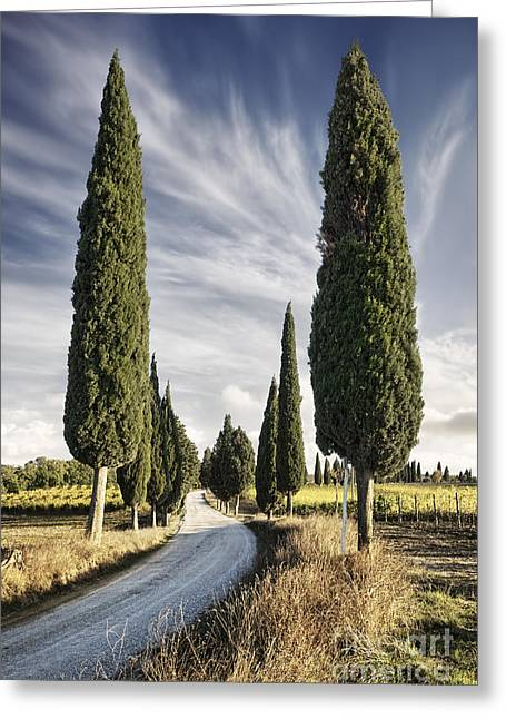 Evening Lights Greeting Cards - Cypress trees - Tuscany Greeting Card by Rod McLean