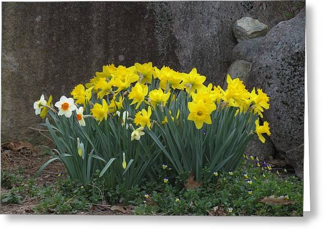 Spring Bulbs Greeting Cards - Daffodil Garden Greeting Card by MTBobbins Photography