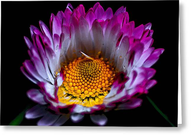 Portrait Photography Greeting Cards - Daisy Greeting Card by Martin Newman
