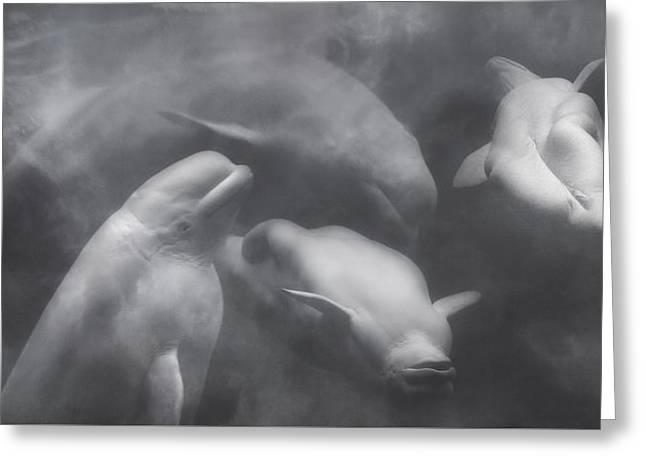 Dancing Belugas  Greeting Card by Betsy Knapp