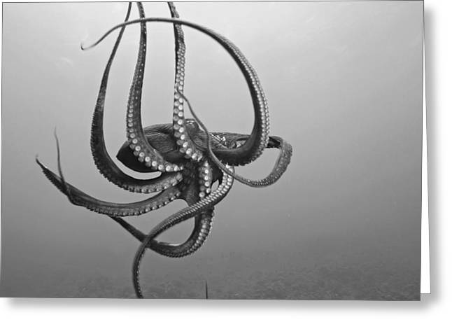 Underwater Photos Greeting Cards - Day Octopus Greeting Card by Dave Fleetham - Printscapes