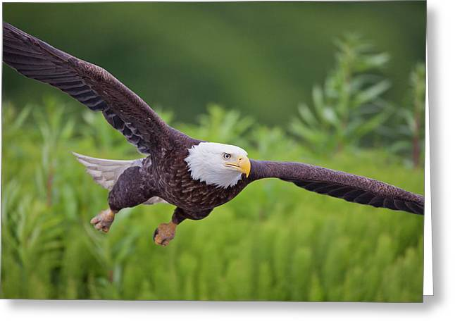 Haliaeetus Leucocephalus Greeting Cards - Diving for Dinner Greeting Card by Tim Grams