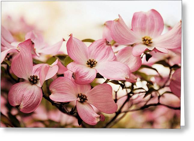 Dogwood Greeting Cards - Dogwood Delight Greeting Card by Jessica Jenney
