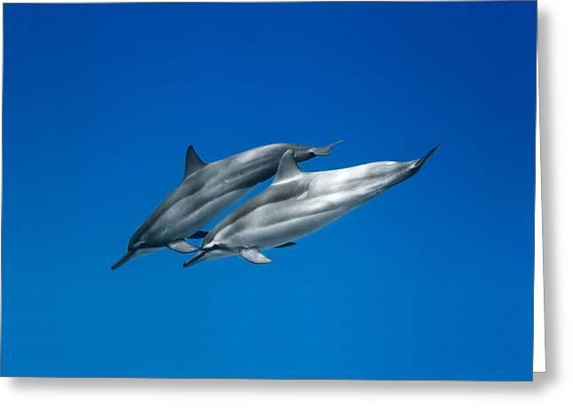 Waimea Greeting Cards - Dolphin Pair Greeting Card by Sean Davey