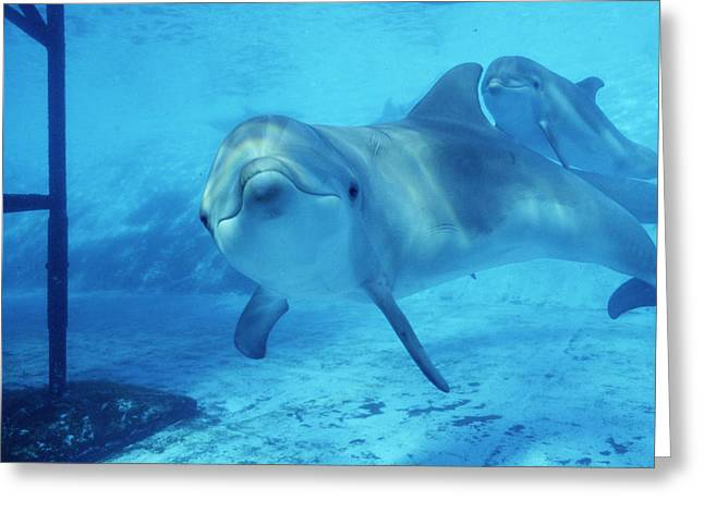 Antibes Greeting Cards - Dolphins In Captivity Greeting Card by Alexis Rosenfeld
