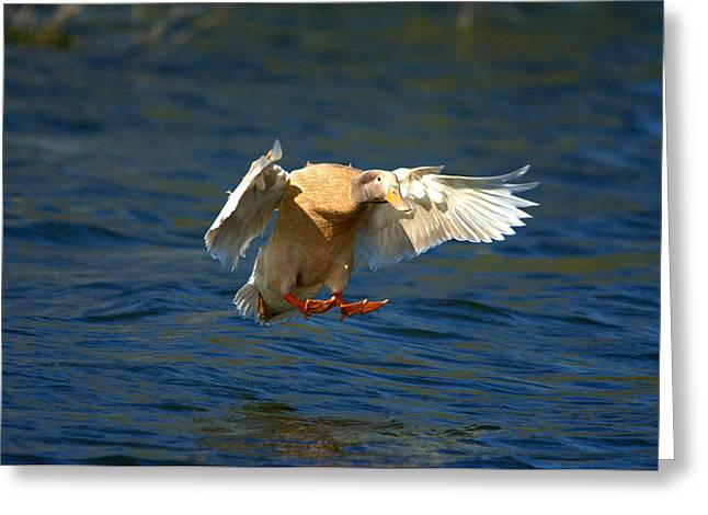 Hunting Bird Greeting Cards - Domestic Duck Prepared For Water Landing Greeting Card by Roy Williams
