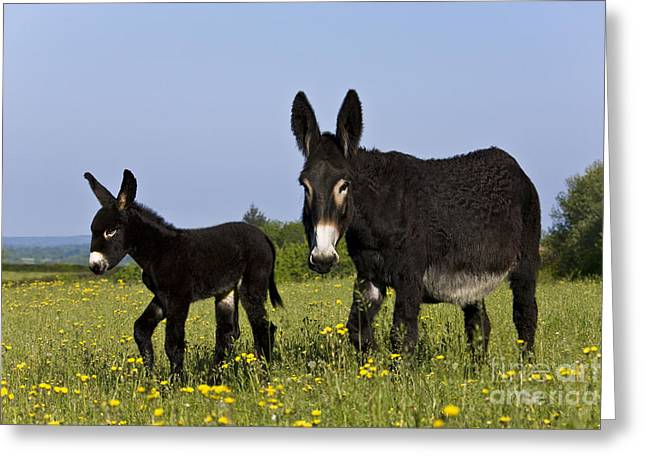 Spring Scenes Greeting Cards - Donkey And Foal Greeting Card by Jean-Louis Klein & Marie-Luce Hubert