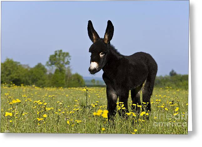 Spring Scenes Greeting Cards - Donkey Foal Greeting Card by Jean-Louis Klein & Marie-Luce Hubert