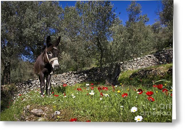 (olea Europaea) Greeting Cards - Donkey In Greece Greeting Card by Jean-Louis Klein & Marie-Luce Hubert