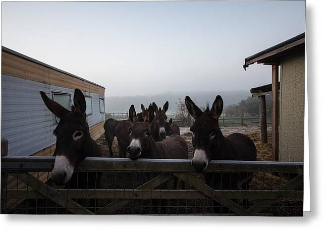 Tough Guy Greeting Cards - Donkeys Greeting Card by Dawn OConnor