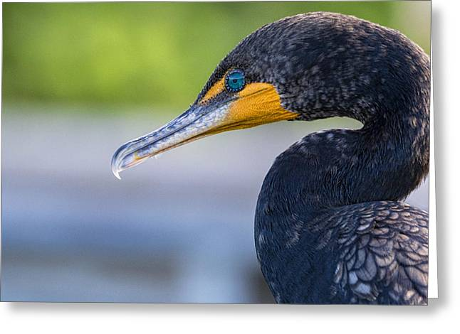 Double-crested Cormorant Greeting Cards - Double-crested Cormorant Greeting Card by Saija  Lehtonen