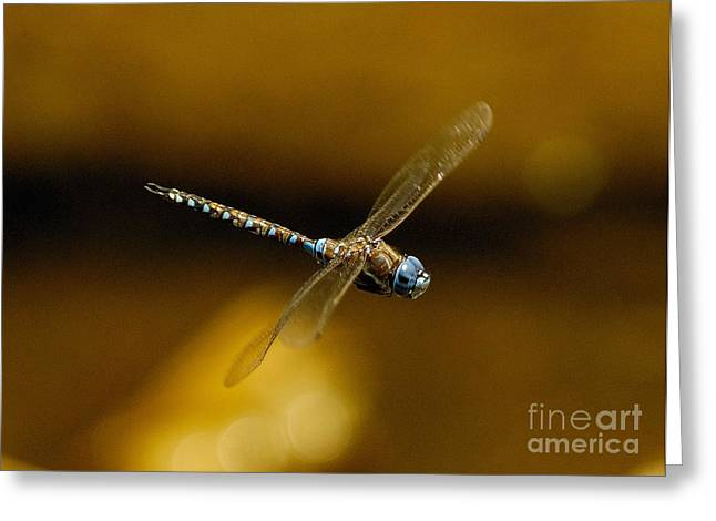 Dragonflies Greeting Cards - Dragonfly Flying Greeting Card by Marc Bittan