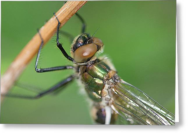 Dragonfly Greeting Card by Gert Lavsen