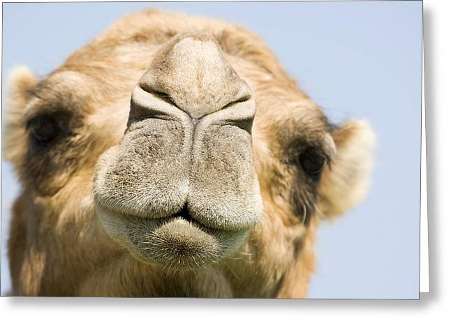Dromedary Greeting Cards - Dromedary Camel Greeting Card by Power And Syred