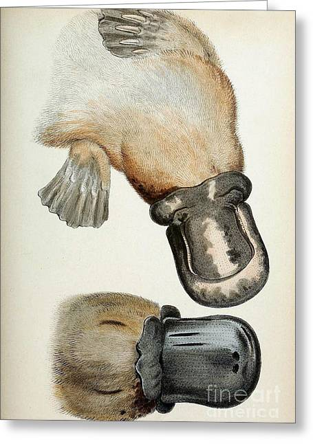 1833 Greeting Cards - Duck-billed Platypus O. Anatinus Greeting Card by Biodiversity Heritage Library