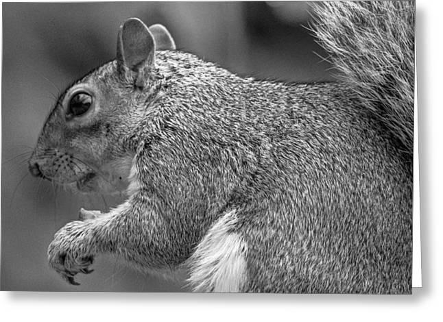 Eastern Grey Squirrel Greeting Cards - Eastern Grey Squirrel  Greeting Card by Martin Newman