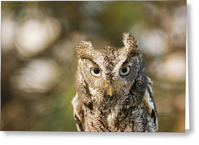 Morph Greeting Cards - Eastern Screech Owl  Greeting Card by Tracy Winter
