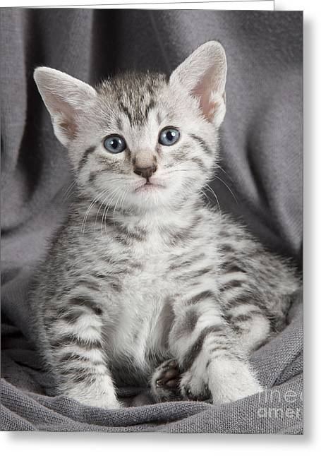 On Blanket Greeting Cards - Egyptian Mau Kitten Greeting Card by Jean-Michel Labat