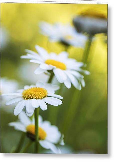 Macro Art In Nature Greeting Cards - Elegant White Daisies Greeting Card by Vishwanath Bhat
