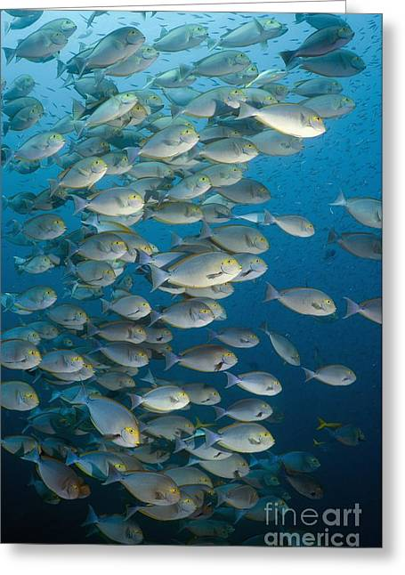 Elongate Surgeonfish Greeting Cards - Elongate Surgeonfish School Greeting Card by Georgette Douwma