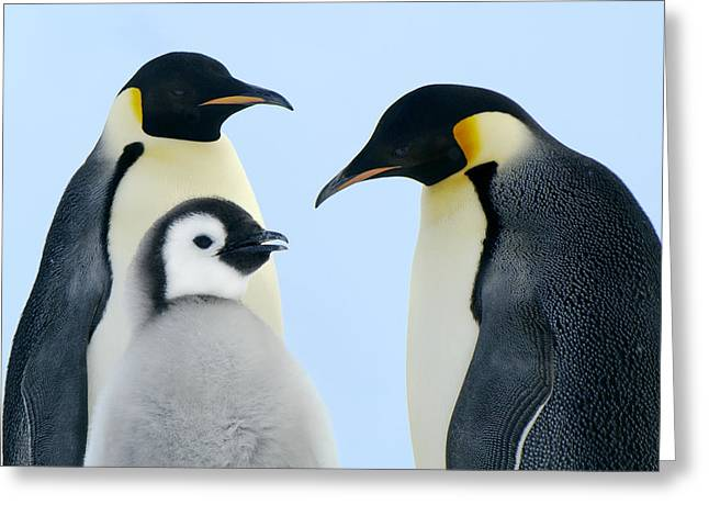 Aptenodytes Greeting Cards - Emperor Penguin Aptenodytes Forsteri Greeting Card by Jan Vermeer